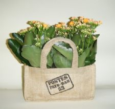 Kalanchoe in a sack